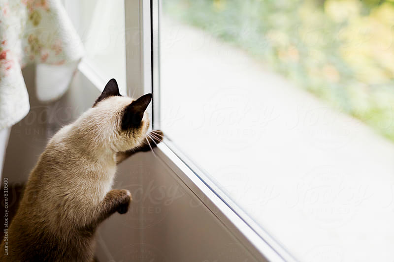 Side view of siamese cat standing on his feet in order to look out of glass door by Laura Stolfi for Stocksy United