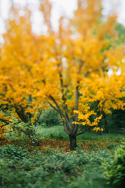 Beautiful yellow  tree in the park by Alexey Kuzma for Stocksy United