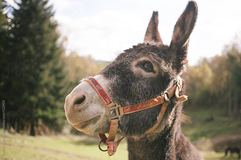 Portrait of a donkey. by Koen Meershoek for Stocksy United