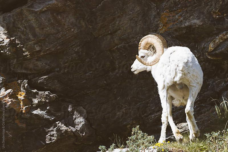 Bighorn sheep in Alaska by Urs Siedentop & Co for Stocksy United