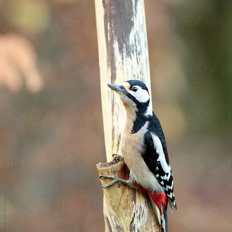 Great Spotted Woodpecker by Marcel for Stocksy United