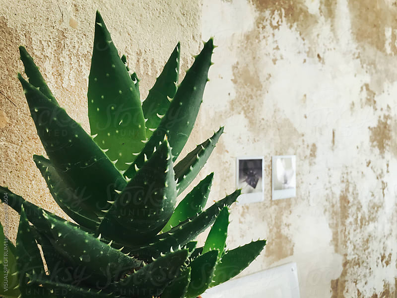 Living Room Detail - Aloe Vera Plant Growing in Front of Shabby Deco Wall by VISUALSPECTRUM for Stocksy United