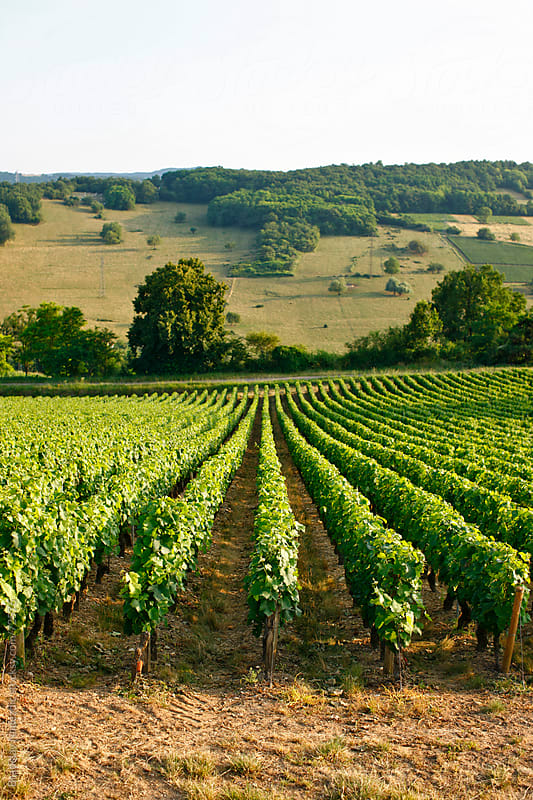 Vineyard in Burgundy, France by Bratislav Nadezdic for Stocksy United
