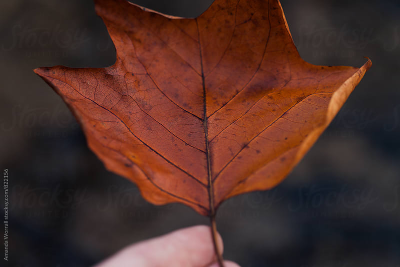 Close up of a hand holding an orangey red autumn leaf, details of the stem and veins by Amanda Worrall for Stocksy United