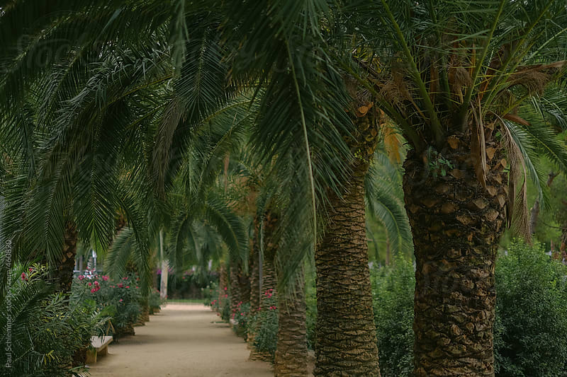 palm trees in Barcelona by Paul Schlemmer for Stocksy United