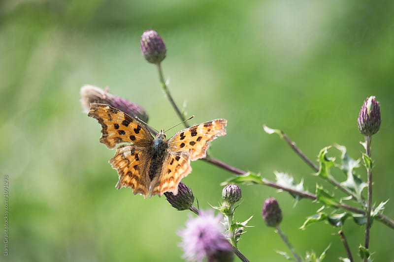 Comma Butterfly (Polygonia c-album) feeding on a wild flower. Norfok, UK. by Liam Grant for Stocksy United