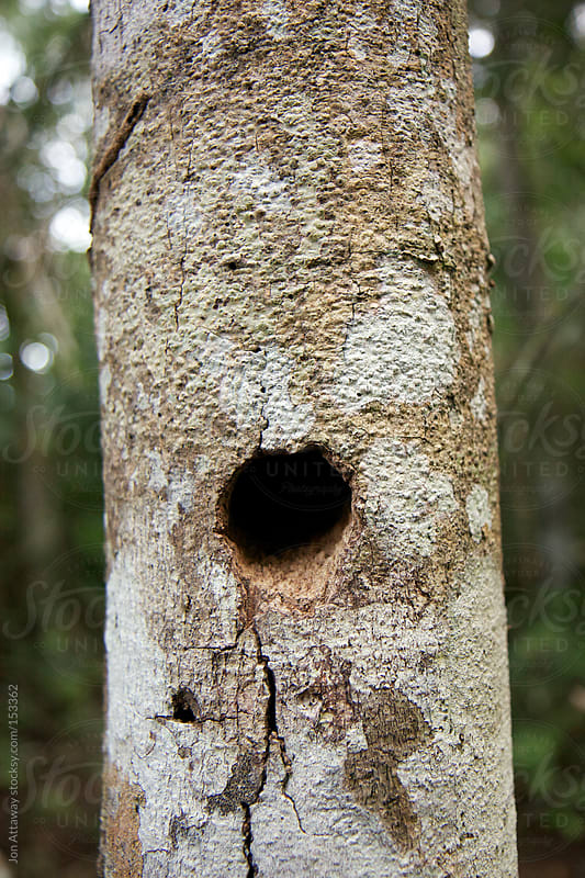 A mysterious hole in a tree trunk by Jon Attaway for Stocksy United