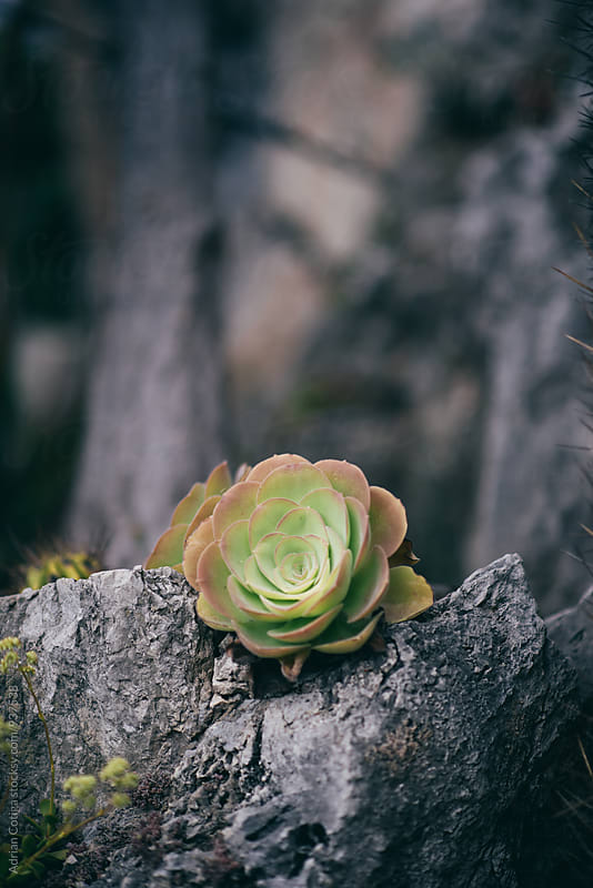 Stone succulent rose, a succulent plant growing on a stone by Adrian Cotiga for Stocksy United