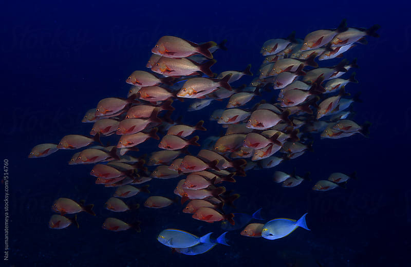 school of red snapper by Nat sumanatemeya for Stocksy United