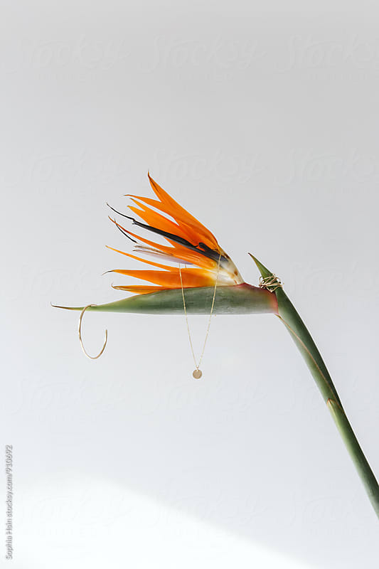 Bird of Paradise, light and gold by Sophia Hsin for Stocksy United