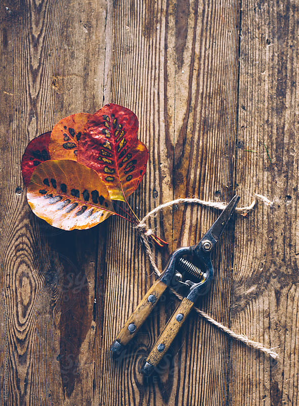 Pretty autumn leaves, secateurs and twine. by Helen Rushbrook for Stocksy United