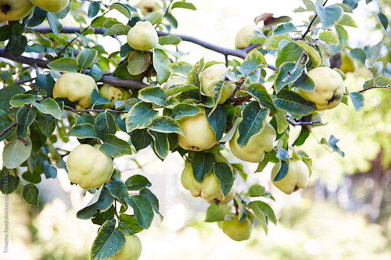 Quince fruit on tree branch by Trinette Reed for Stocksy United