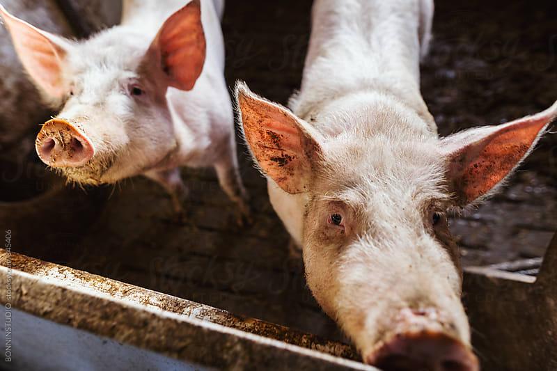 Pigs on a farm. by BONNINSTUDIO for Stocksy United