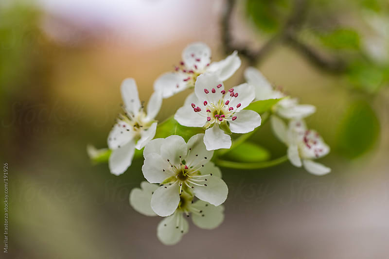 Pear tree in flower by Marilar Irastorza for Stocksy United