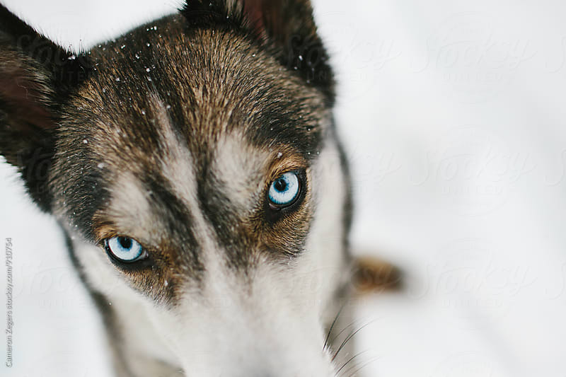 husky in snow by Cameron Zegers for Stocksy United