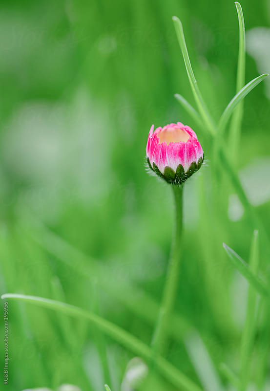 Ox-eye daisy by RG&B Images for Stocksy United