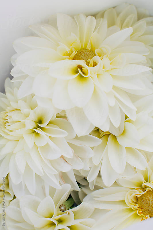 Bouquet of white Dahlia flowers by Kristin Duvall for Stocksy United