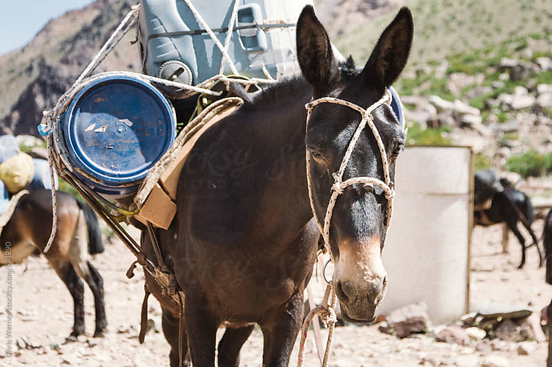 Pack mule donkey with cargo in Andes Mountains by Chris Werner for Stocksy United
