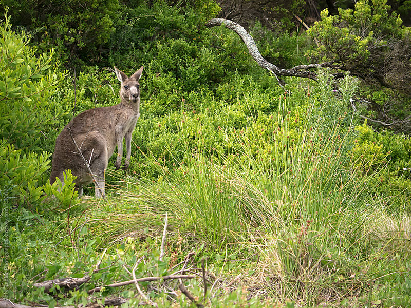 Eastern Grey Kangaroo in Australian Bush (Macropus giganteus) by Gary Radler Photography for Stocksy United