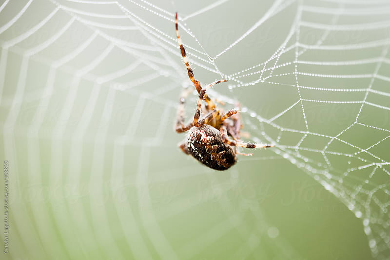 Spider fixing up the web in the morning by Carolyn Lagattuta for Stocksy United