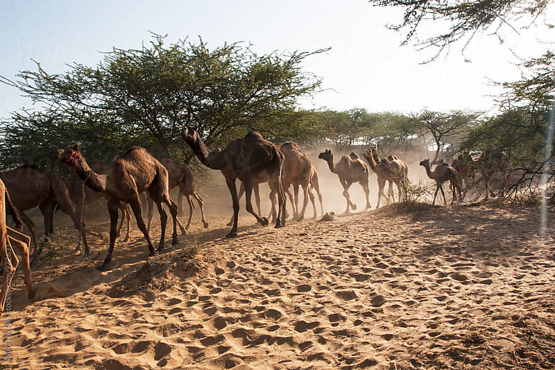 Camels running in Rajasthan Desert,India by PARTHA PAL for Stocksy United