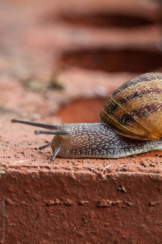 Macro of Garden Snail crawling over a brick by kkgas for Stocksy United