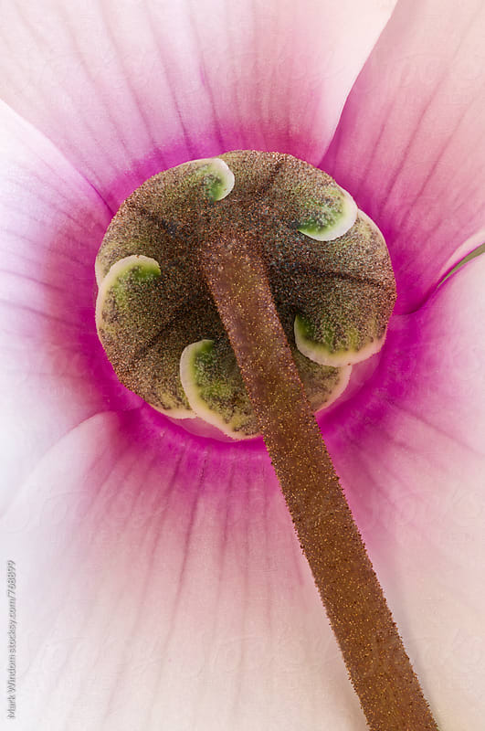 Cyclamen blossom from behind, closeup  by Mark Windom for Stocksy United