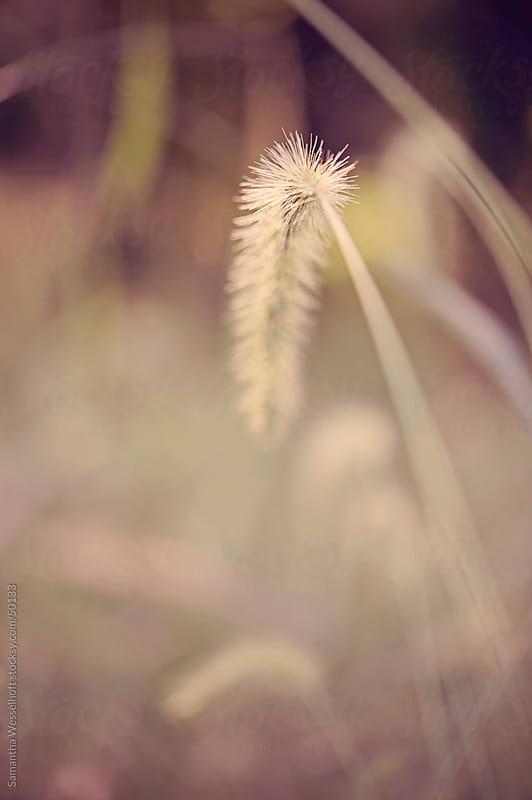 ornamental grass cattails by Samantha Wesselhoft for Stocksy United