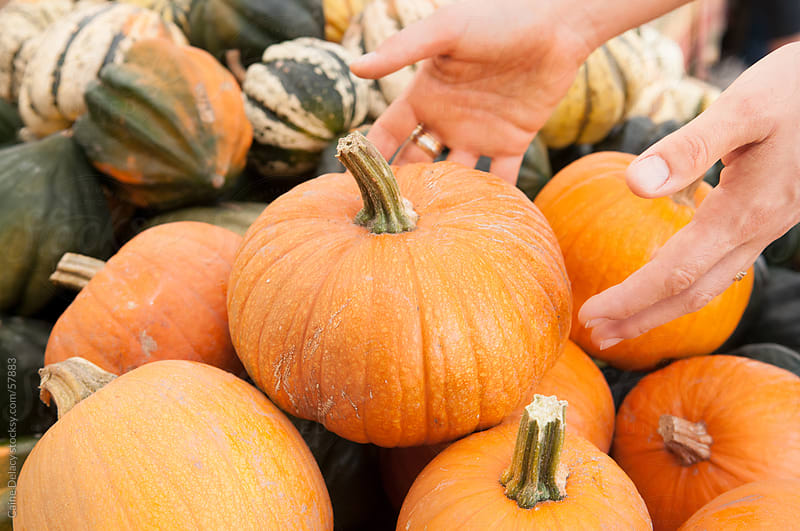 Reaching for a pumpkin- close of hands selecting a pumpkin by Caine Delacy for Stocksy United