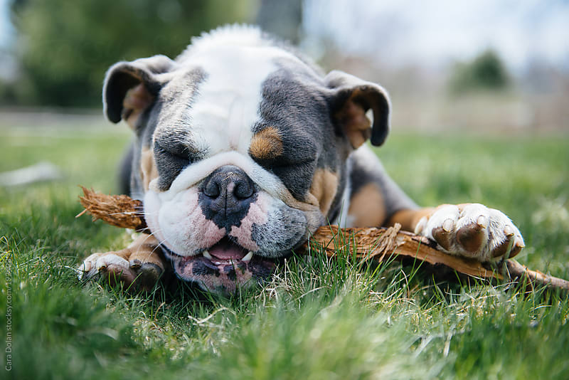 English bulldog happily chews on a stick in the backyard by Cara Dolan for Stocksy United