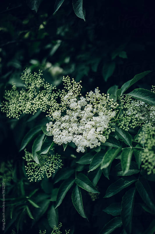 Elderflower Cordial by Hung Quach for Stocksy United