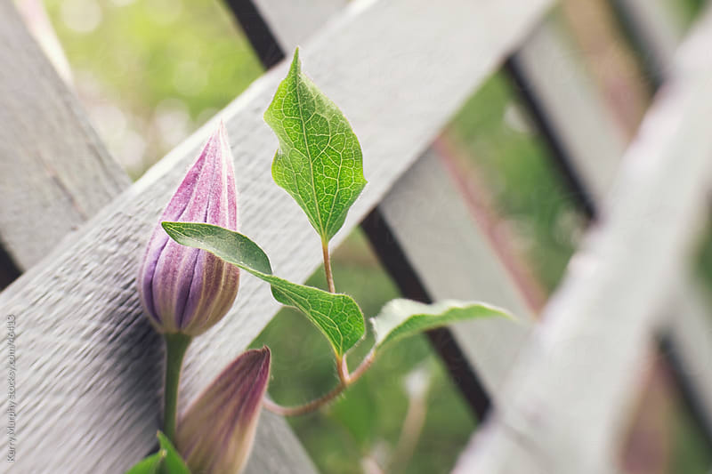 Closeup of clematis flower bud on lattice by Kerry Murphy for Stocksy United
