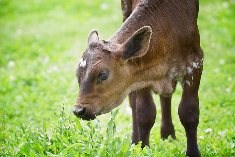 A calf stands in the pasture grass.  by Tana Teel for Stocksy United