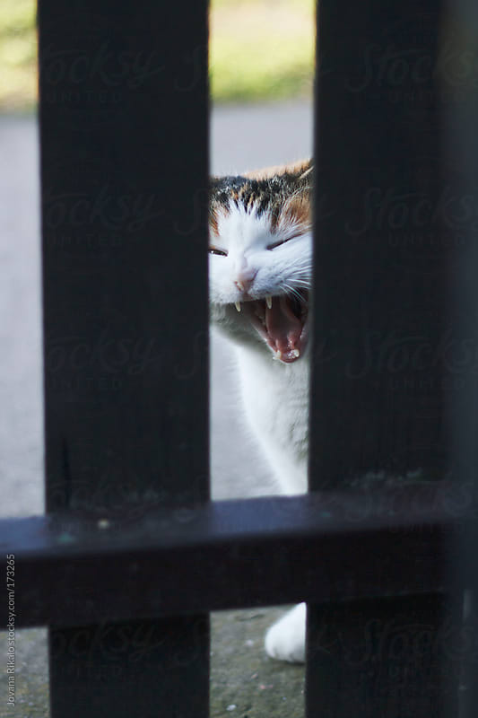 White and orange cat yawning  by Jovana Rikalo for Stocksy United