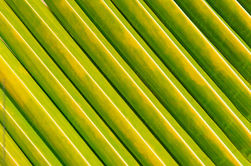 Palm fronds, Samoa. by Thomas Pickard for Stocksy United