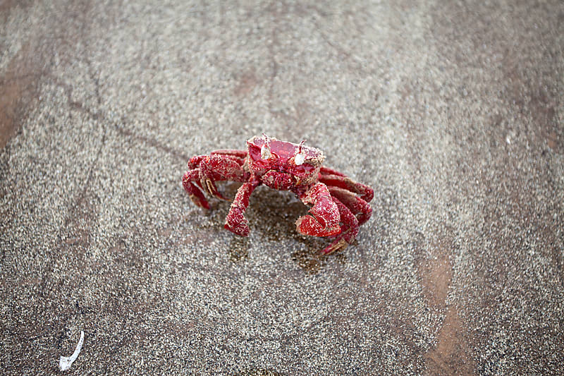 A live red crab in a beach by PARTHA PAL for Stocksy United