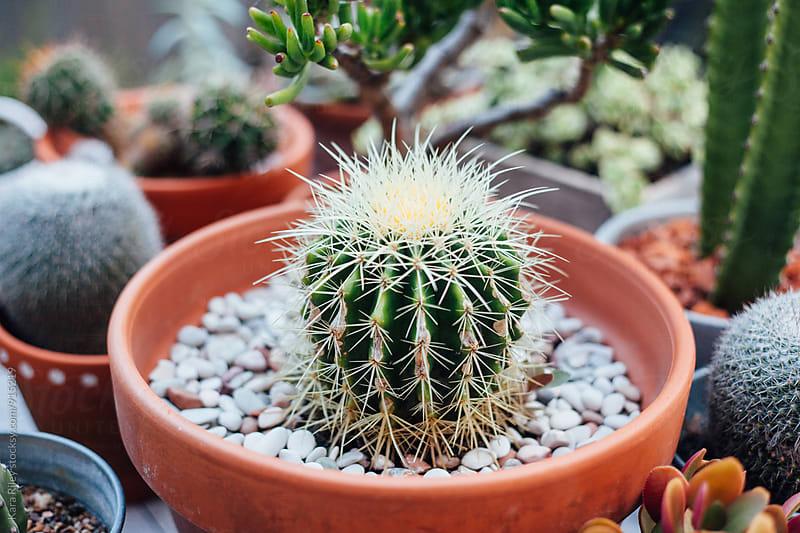 Cacti in pots by Kara Riley for Stocksy United
