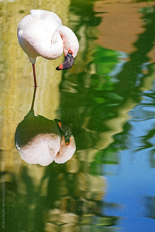 Pink flamingo fishing by ACALU Studio for Stocksy United