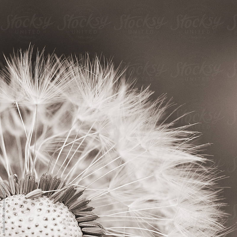 Monochromatic image of a dandelion blossom by Melanie Kintz for Stocksy United