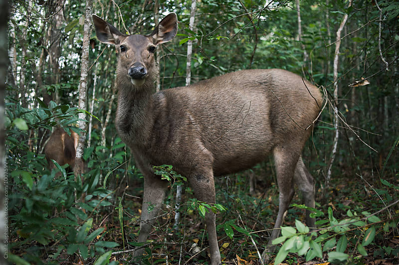 Sambar deer by Chalit Saphaphak for Stocksy United
