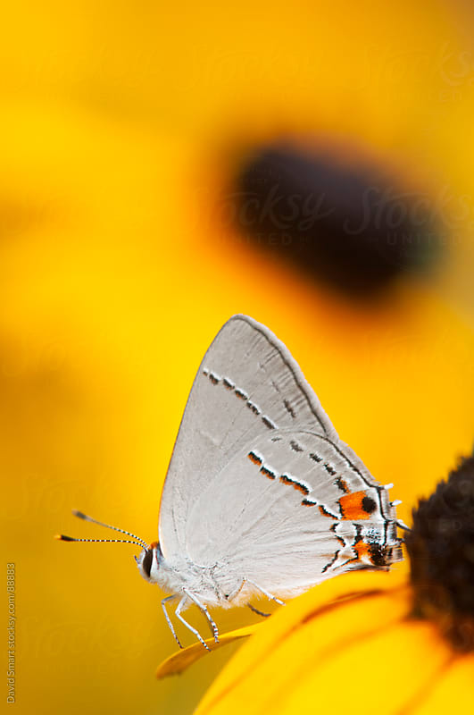 Grey Hairstreak butterfly on a blackeyed susan flower by David Smart for Stocksy United