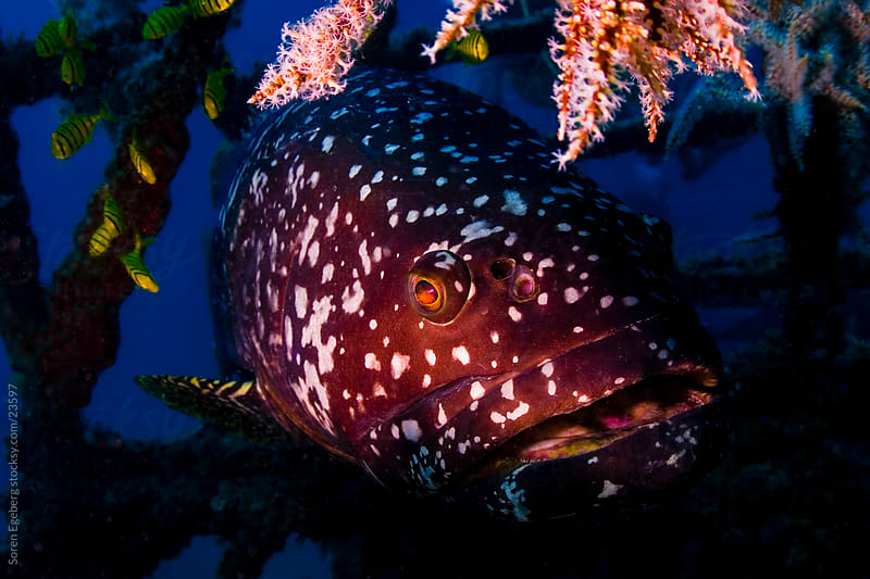 Portrait of Giant Grouper fish swimming on the coral reef  underwater in Malaysia by Soren Egeberg for Stocksy United