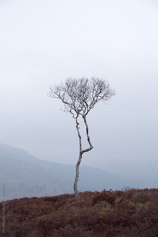 Lonely young tree in the Highlands by Jon Attaway for Stocksy United