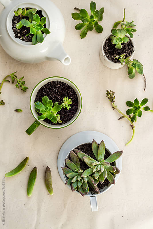 succulent cuttings used to make new potted plants in quirky upcycled containers by Gillian Vann for Stocksy United