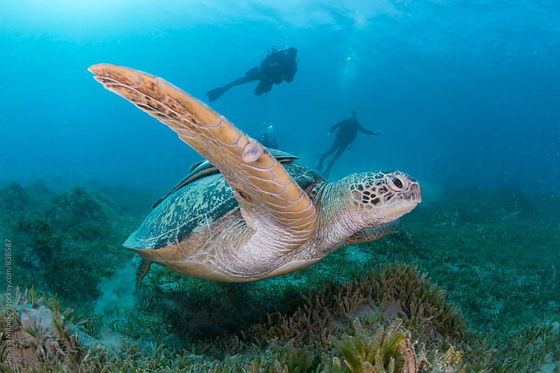 Beautiful green sea turtle swimming underwater and silhouettes of scuba divers behind it by Jovana Milanko for Stocksy United