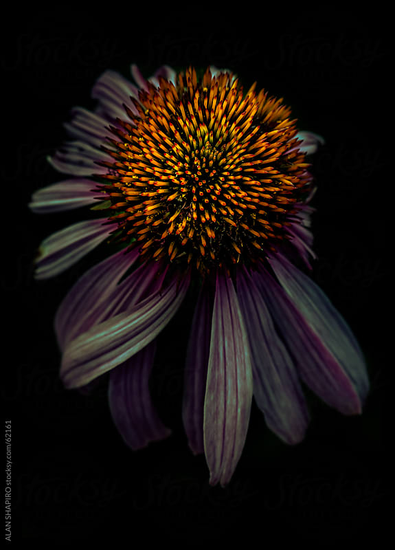 Echinacea bloom at night by alan shapiro for Stocksy United