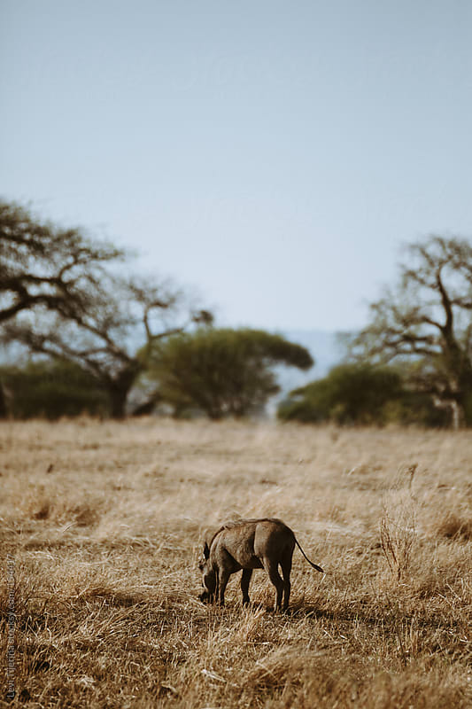 warthog in the african bush of tanzania by Levi Tijerina for Stocksy United