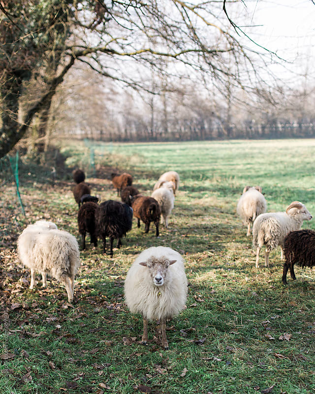 Breton dwarf sheep stands in the grass and looks straight at the camera by Laura Stolfi for Stocksy United