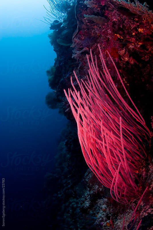 Bright red Whip coral  on the reef  underwater in Malaysia by Soren Egeberg for Stocksy United
