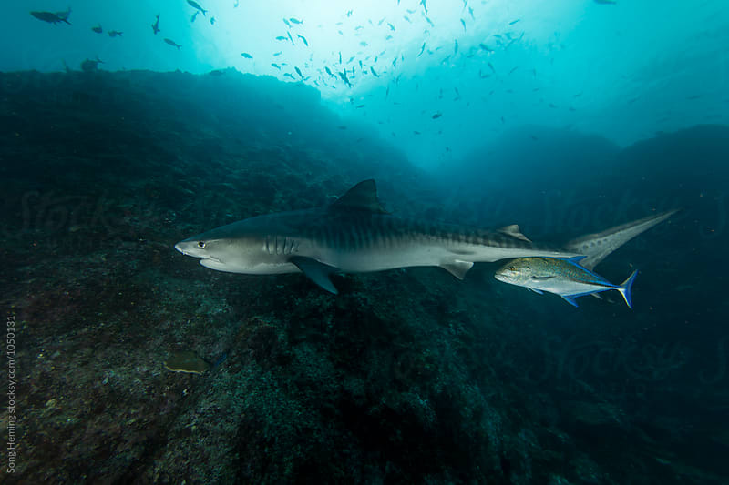 A  big tiger shark swimming with a trevally by Song Heming for Stocksy United